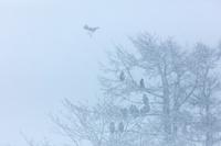 オオワシのなるカラマツ雪景色