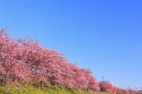 静岡県 河津桜並木 青空