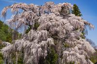 長野県 北小倉のしだれ桜
