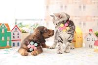 ミニチュアダックスフンド(犬)と アメリカンショートヘア(猫)
