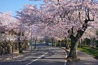 埼玉県 桜並木の道路