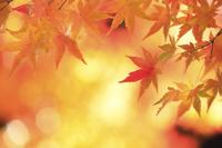 京都府 楓の紅葉