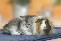 寄り添う子猫とモルモット