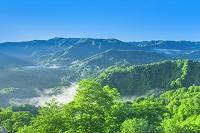 青森県 朝霧の白神山地のブナ
