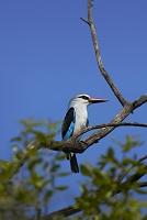 南アフリカ共和国 クルーガー国立公園 セネガルショウビン