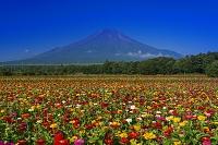 山梨県 ヒャクニチソウと富士山