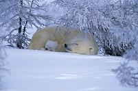 カナダ 眠るホッキョクグマの親子