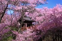 長野県 高遠城址公園 桜