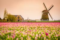 オランダ 春のチューリップ畑と風車