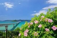 山口県 角島大橋とフヨウの花