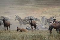 ケニア マサイマラ国立保護区 サザビーとトピとグラントシマウマ