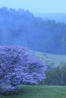 岩手県 宮古市 牧草地の一本桜 朝方