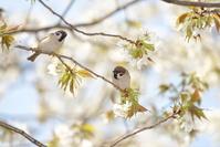 スズメと大島桜