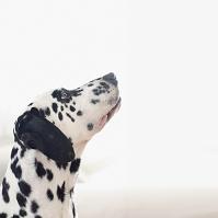 ダルメシアン 犬の横顔
