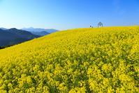 福島県 喜多方市 熱塩加納町 三ノ倉高原 菜の花畑