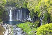 静岡県 新緑の白糸滝と観光客
