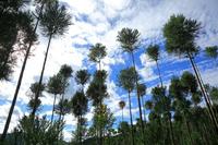 京都府 北山杉の若木