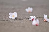 路上に落ちた桜