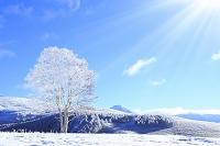長野県 霧ヶ峰高原 雪原に立つ霧氷のダケカンバと蓼科山