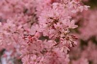春爛漫野桜