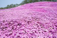 北海道 芝ざくらが咲き誇る東藻琴芝桜公園