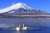 山梨県 山中湖 朝の富士山と氷結した湖と白鳥