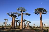 マダガスカル バオバブ
