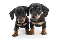 ミニチュアダックスフンド 2頭の仔犬