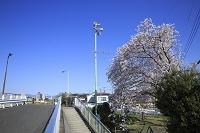 防災スピーカーと桜