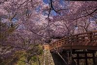 長野県 高遠城址公園 タカトオコヒガンザクラ