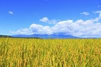 日本 長野県 初秋の稲田と浅間山