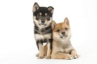 シバ 2頭の仔犬