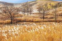 大分県 秋色のススキ原と木立