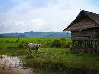 ラオス北部 ムアンシン近郊の村の水牛と家