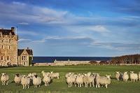 イギリス スコットランド 羊の放牧