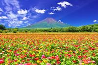 山梨県 百日草咲く富士山