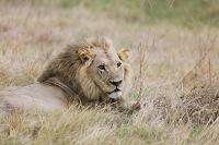 ボツワナ モレミ野生動物保護区 ライオン