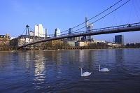 ドイツ フランクフルト マイン川 ハクチョウ ホルバイン橋