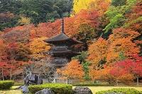 京都府 金剛院の三重塔と紅葉の木々