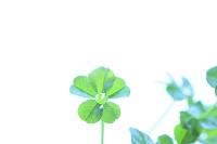 水滴の付いた五つ葉のクローバー