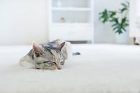 カーぺットで眠る仔猫