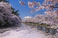 青森県 桜吹雪の弘前公園外濠と岩木山