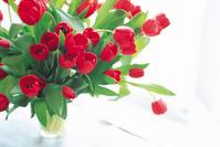 赤色のチューリップ咲く春