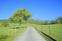 山梨県 八ヶ岳牧場 新緑のヤマナシの木と道