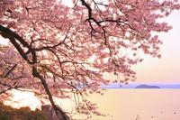滋賀県 早朝の海津大崎の桜と琵琶湖と竹生島