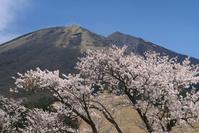 鳥取県 桝水高原の桜と大山
