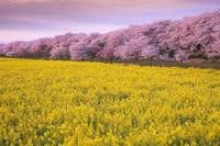 埼玉県 菜の花と桜咲く権現堂桜堤朝景