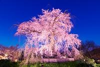 京都府 ライトアップの円山公園のシダレザクラ