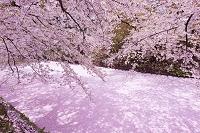 日本 青森県 弘前公園 お堀の散り桜