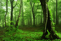 北海道 ブナ原生林